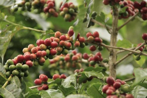 Dusty Road Coffee Roasters Costa Rica Honey Microlot